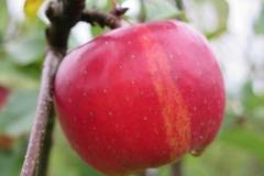 Rødt æble og grønne blade