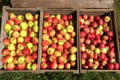 mange æbler