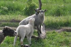 Grå og hvid lam