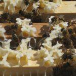 Honningbier